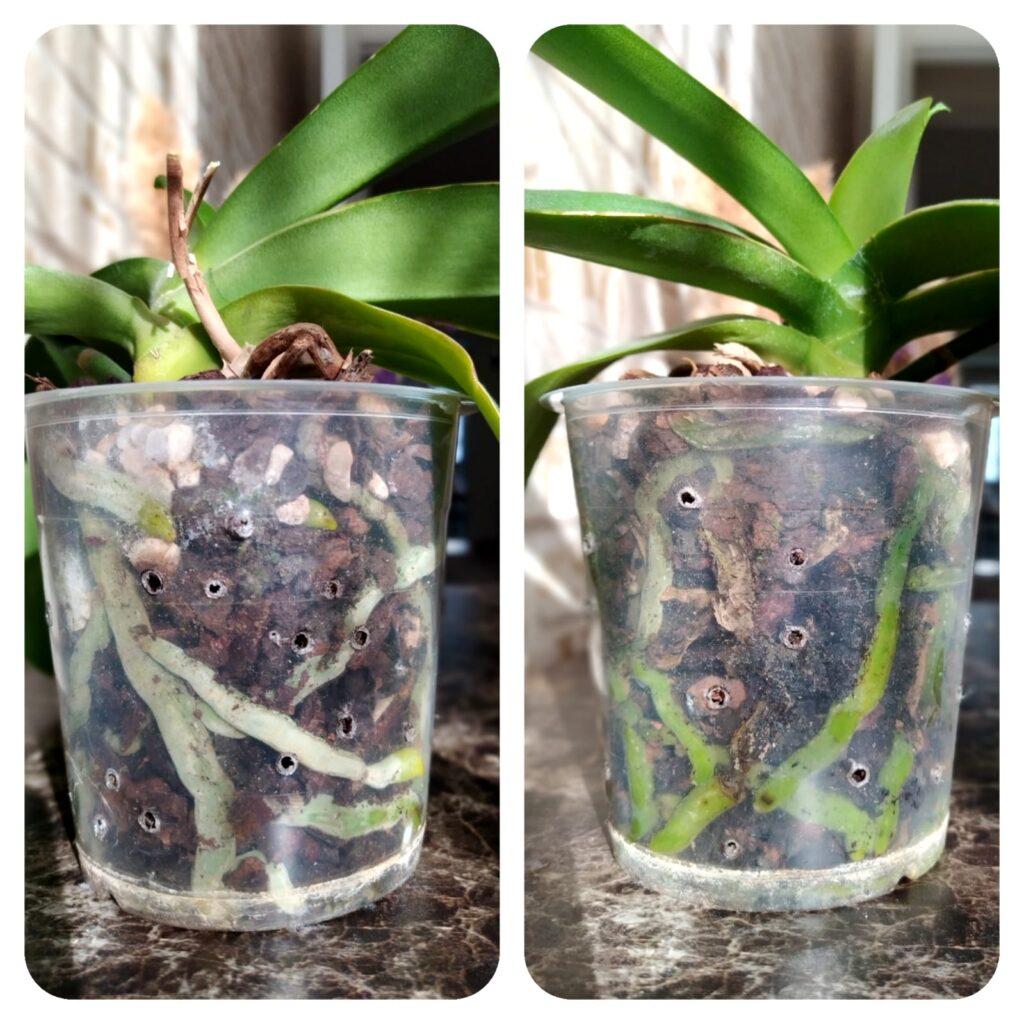 orkide kökü nasıl olmalı